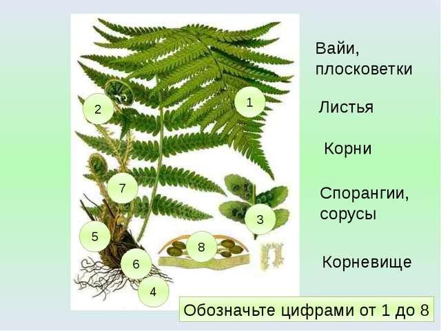 1 4 3 2 5 Вайи, плосковетки Корни Спорангии, сорусы Листья 6 Корневище 7 8 Об...