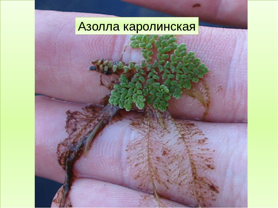 Папоротниковидные Фегоптерис буковый Кочедыжник женский Щитовник мужской Саль...