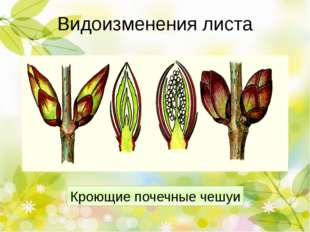 Видоизменения листа Прицветники пуансеттии, антуриума Родина пуансетии (Eupho
