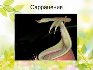 Непентес, кувшиночник Лист - кувшин Размер кувшина Добыча Лист-кувшин использ