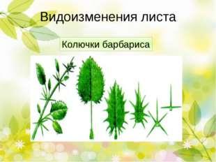 Видоизменения листа Колючки кактуса У кактусов листья видоизменились в острые