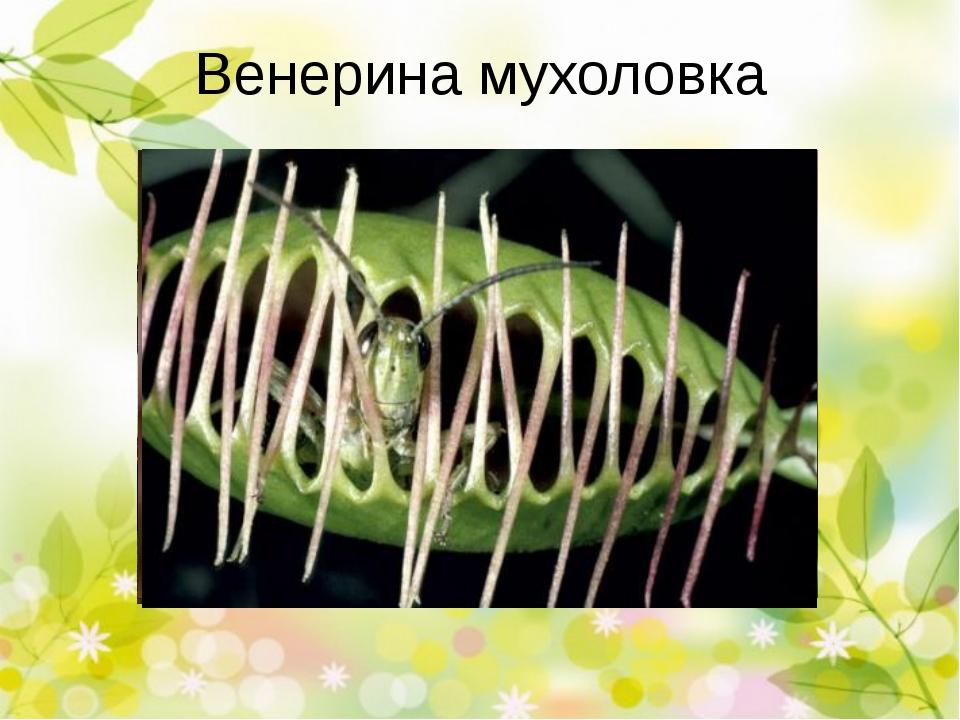 Росянка, росичка Росянка обратнояйцевидная Росянка круглолистная Х Росянка д...