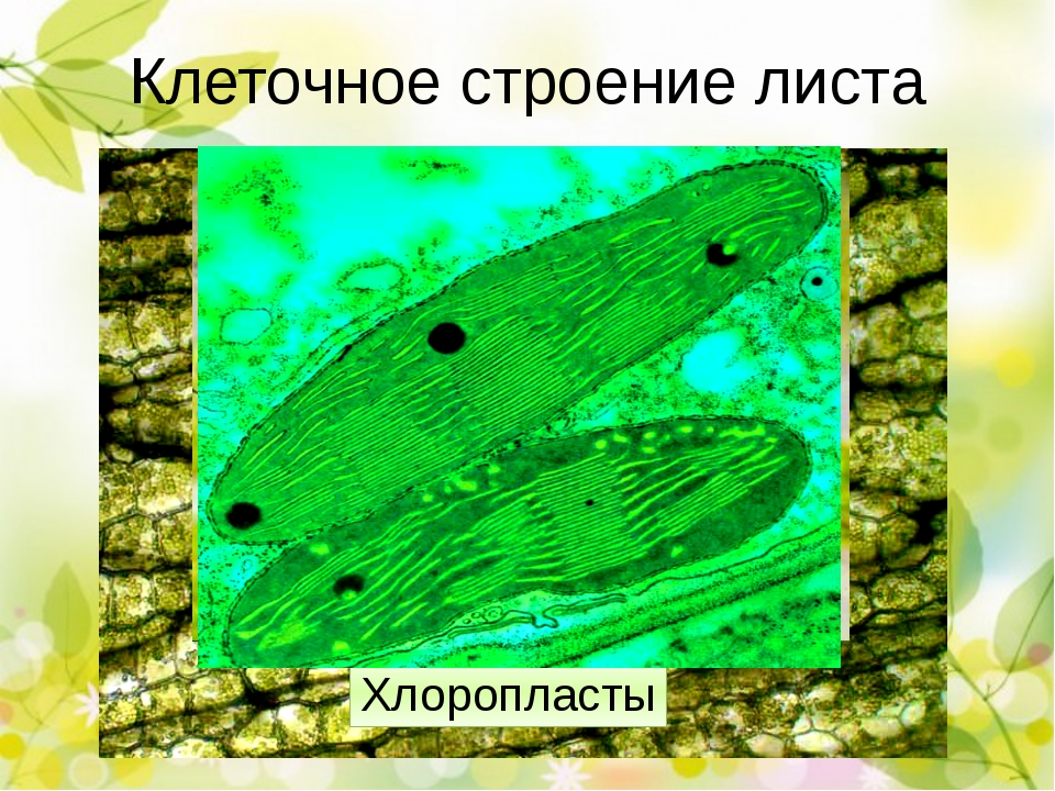 Процессы, происходящие в листе Фотосинтез Рост Испарение воды (транспирация)...