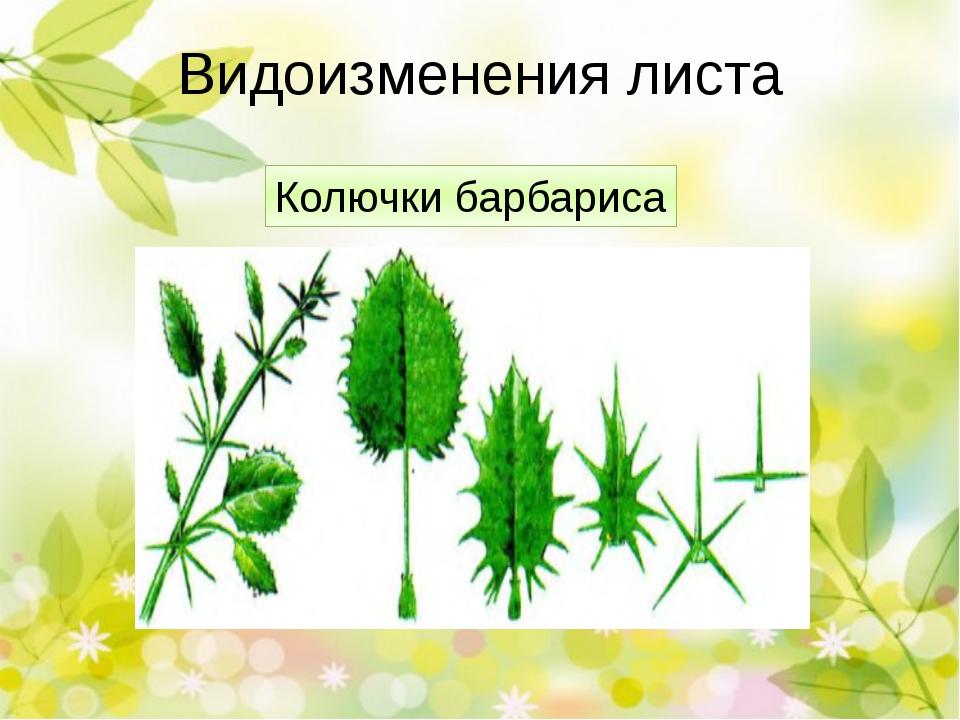 Видоизменения листа Колючки кактуса У кактусов листья видоизменились в острые...