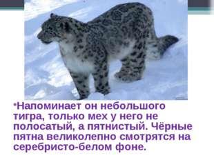 Напоминает он небольшого тигра, только мех у него не полосатый, а пятнистый.