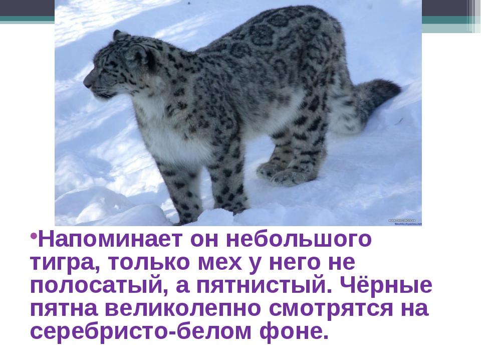 Напоминает он небольшого тигра, только мех у него не полосатый, а пятнистый....