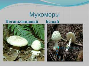 Мухоморы Поганковидный Белый