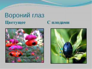 Вороний глаз Цветущее С плодами