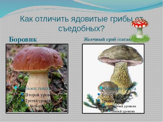 Как отличить ядовитые грибы от съедобных? Боровик Желчный гриб (сатанинский)