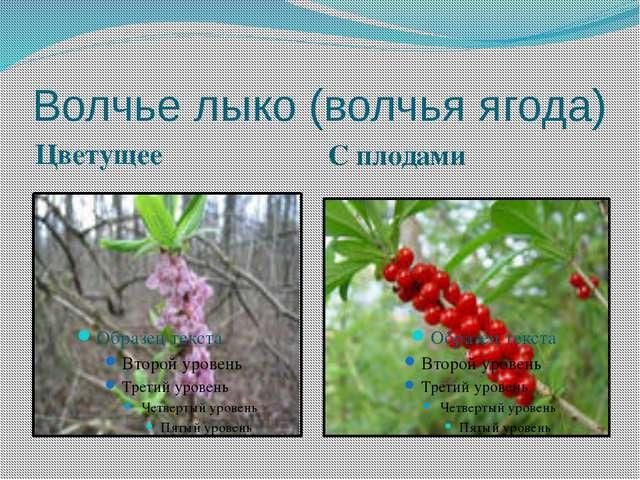 Волчье лыко (волчья ягода) Цветущее С плодами