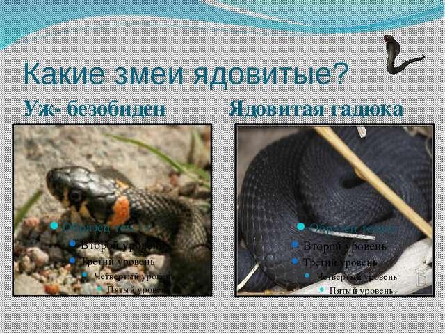 Какие змеи ядовитые? Уж- безобиден Ядовитая гадюка