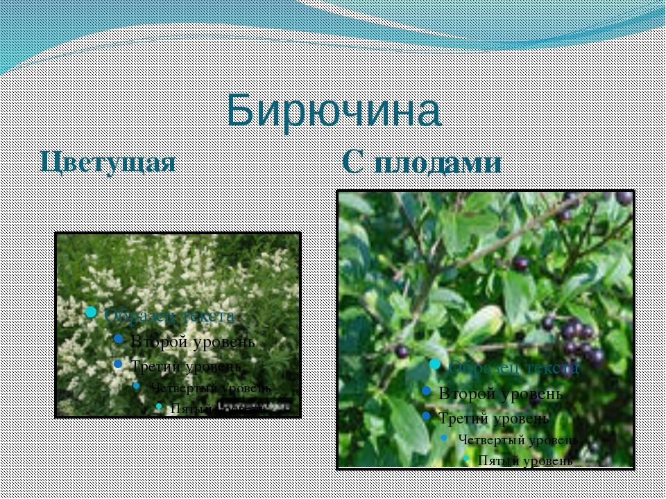 Бирючина Цветущая С плодами