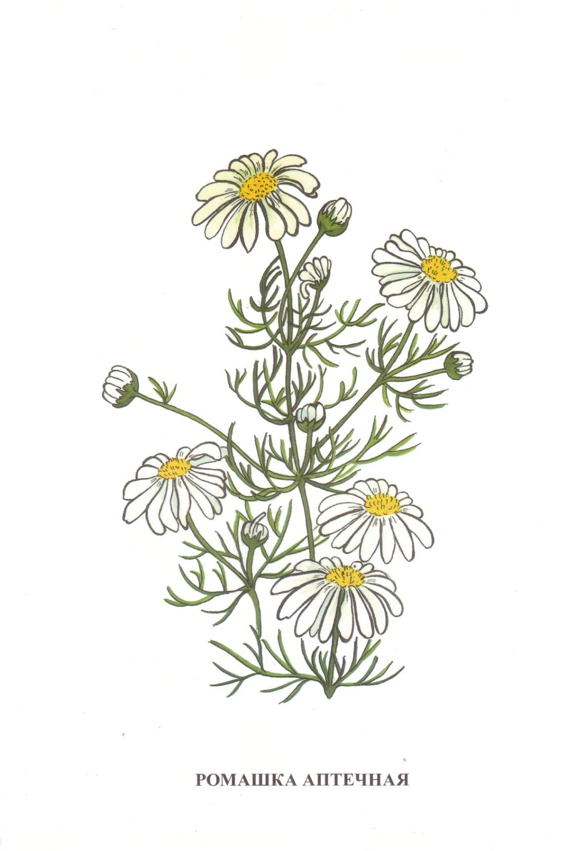 D:\школа 8 вида\Дидакт. материал картинки\Vohrinceva_полевые цветы\Vohrinceva_полевые цветы\1-15.jpg