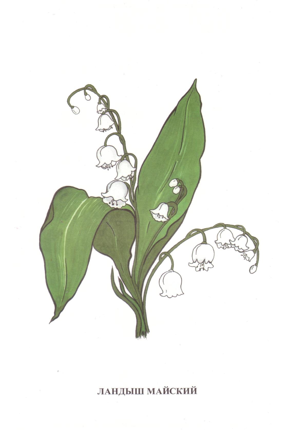 D:\школа 8 вида\Дидакт. материал картинки\Vohrinceva_полевые цветы\Vohrinceva_полевые цветы\1-9.jpg