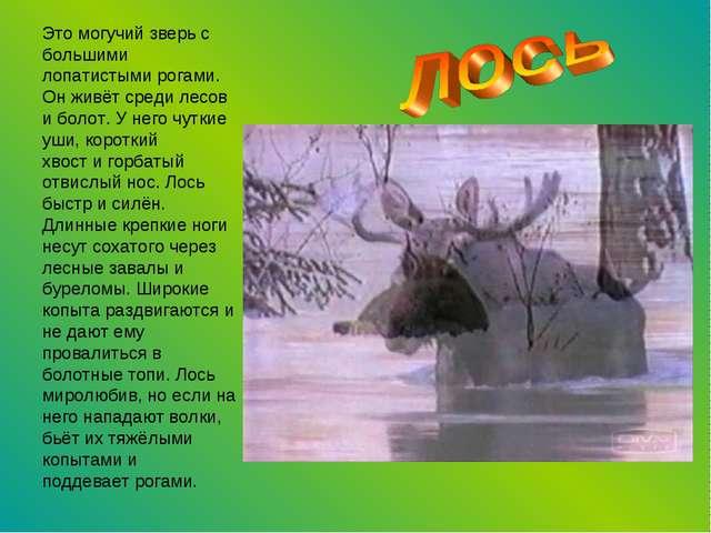 Это могучий зверь с большими лопатистыми рогами. Он живёт среди лесов и болот...