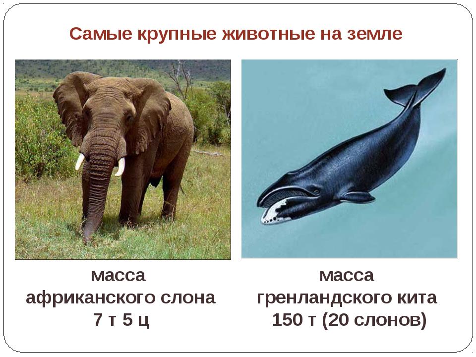 масса африканского слона 7 т 5 ц масса гренландского кита 150 т (20 слонов) С...