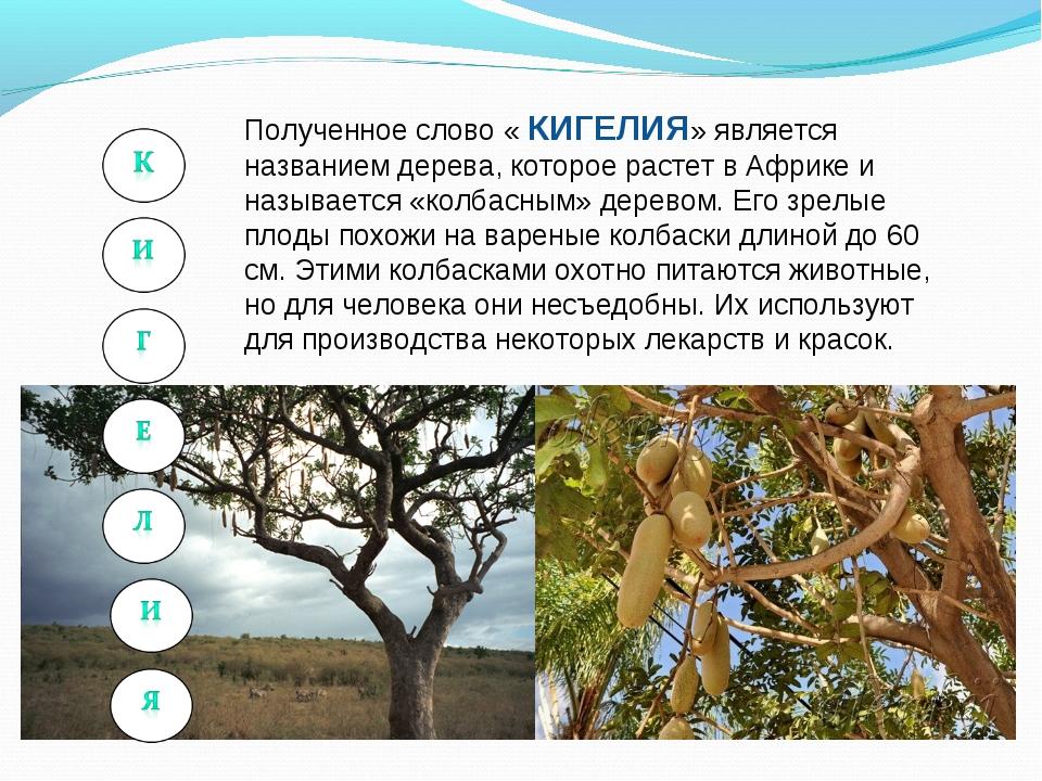 Полученное слово « КИГЕЛИЯ» является названием дерева, которое растет в Африк...