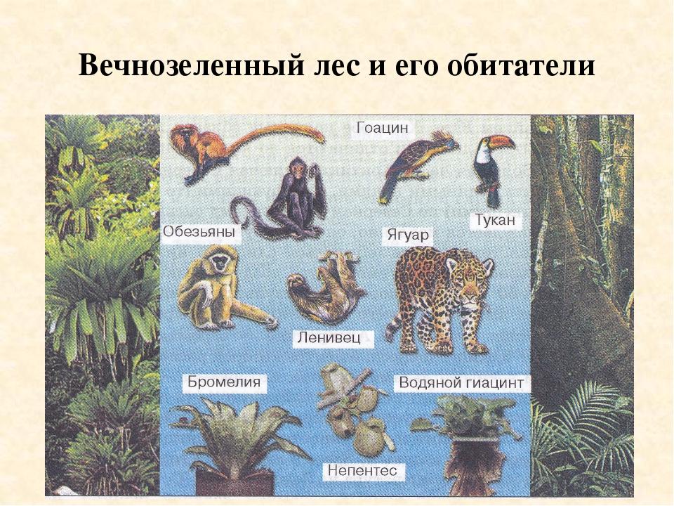 Вечнозеленный лес и его обитатели