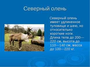 Северный олень Северный олень имеет удлиненное туловище и шею, но относительн