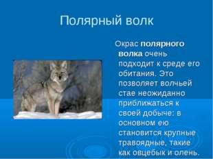 Полярный волк Окрас полярного волка очень подходит к среде его обитания. Это