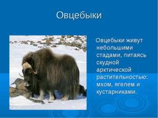 Овцебыки Овцебыки живут небольшими стадами, питаясь скудной арктической расти