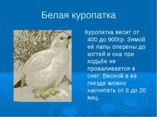 Белая куропатка Куропатка весит от 400 до 900гр. Зимой её лапы оперены до ког