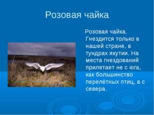 Розовая чайка Розовая чайка. Гнездится только в нашей стране, в тундрах якути