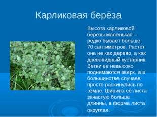 Карликовая берёза Высота карликовой березы маленькая – редко бывает больше 70