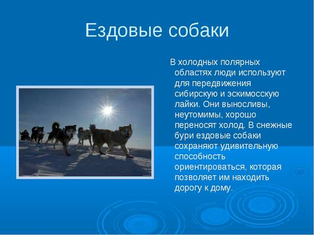 Ездовые собаки В холодных полярных областях люди используют для передвижения...