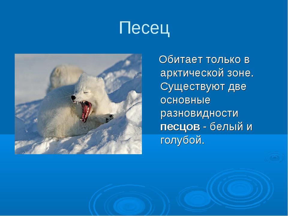 Песец Обитает только в арктической зоне. Существуют две основные разновидност...
