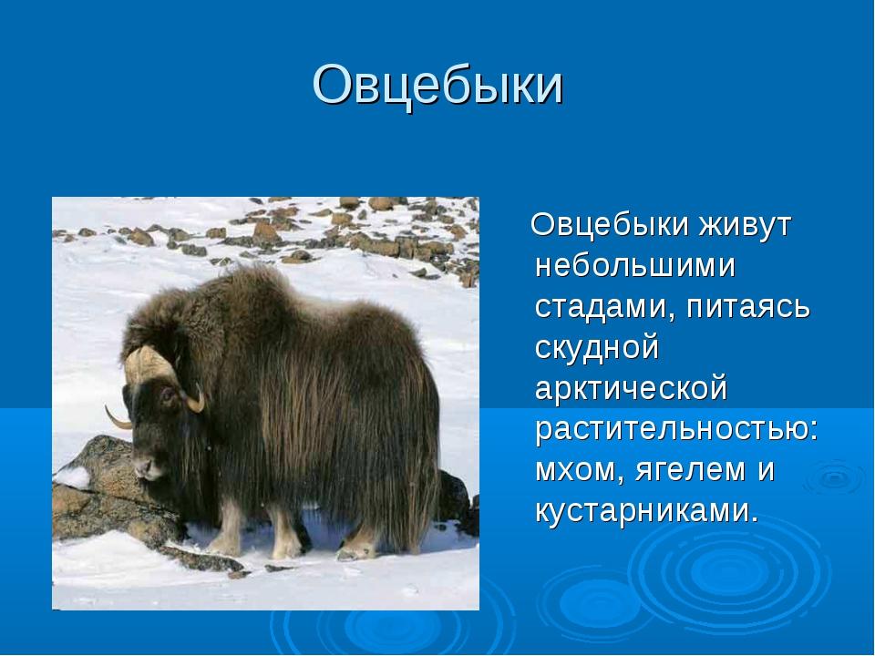 Овцебыки Овцебыки живут небольшими стадами, питаясь скудной арктической расти...
