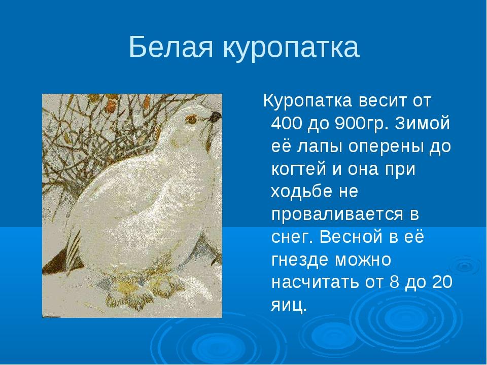 Белая куропатка Куропатка весит от 400 до 900гр. Зимой её лапы оперены до ког...
