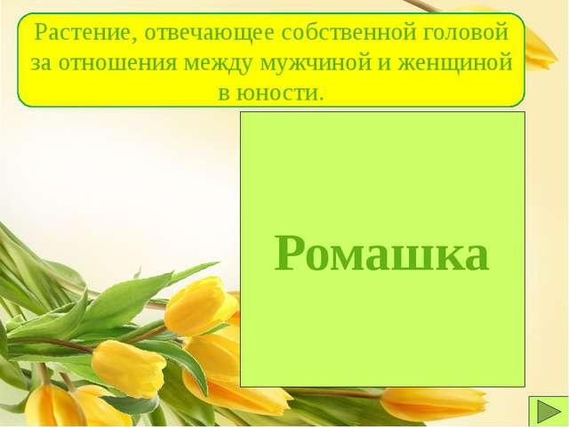 Ромашка Растение, отвечающее собственной головой за отношения между мужчиной...