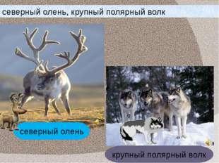 северный олень, крупный полярный волк северный олень крупный полярный волк