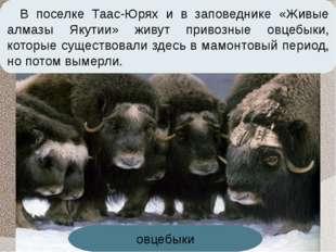 В поселке Таас-Юрях и в заповеднике «Живые алмазы Якутии» живут привозные овц