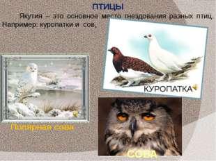 Якутия – это основное место гнездования разных птиц. Например: куропатки и со
