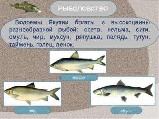 омуль чир муксун Водоемы Якутии богаты и высокоценны разнообразной рыбой: осе
