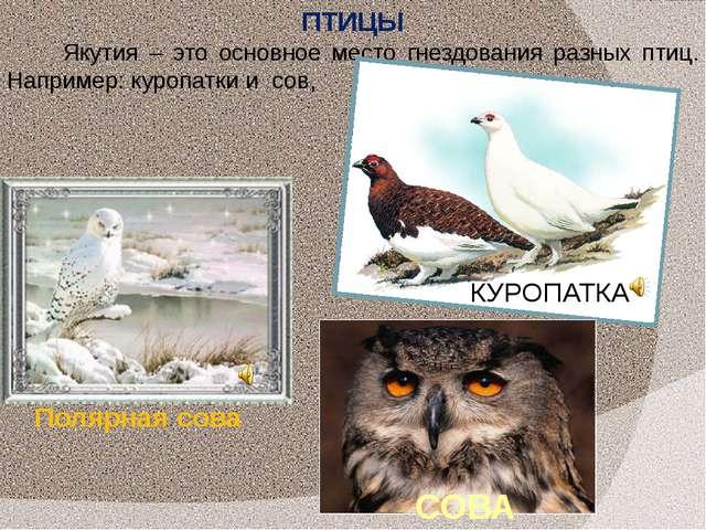 Якутия – это основное место гнездования разных птиц. Например: куропатки и со...