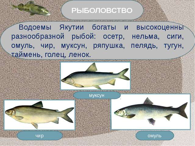 омуль чир муксун Водоемы Якутии богаты и высокоценны разнообразной рыбой: осе...