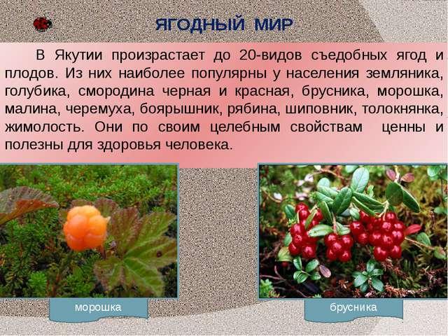 морошка брусника ЯГОДНЫЙ МИР В Якутии произрастает до 20-видов съедобных ягод...