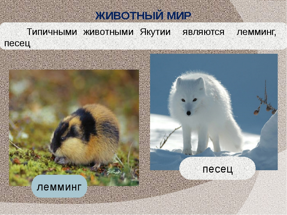 Типичными животными Якутии являются лемминг, песец лемминг песец ЖИВОТНЫЙ МИР