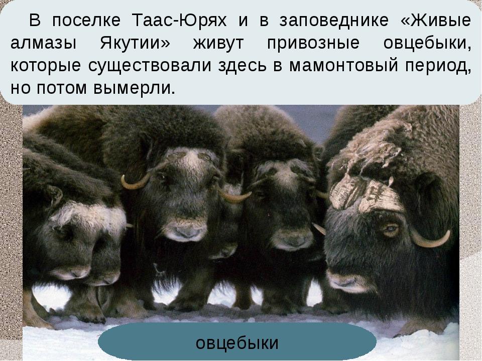 В поселке Таас-Юрях и в заповеднике «Живые алмазы Якутии» живут привозные овц...