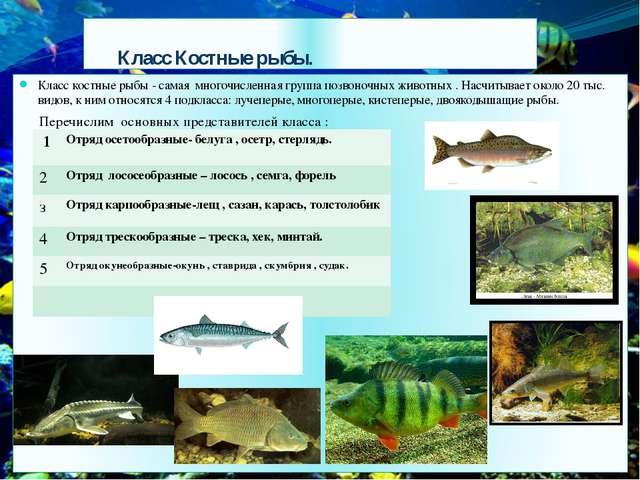 Класс Костные рыбы. Класс костные рыбы - самая многочисленная группа позвоно...