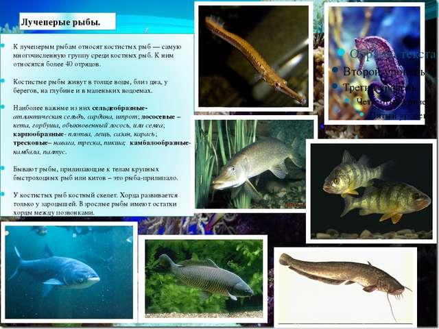 Лучеперые рыбы. К лучеперым рыбам относят костистых рыб — самую многочисленну...