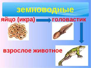 земноводные яйцо (икра) головастик взрослое животное