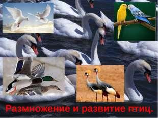 Размножение и развитие птиц.