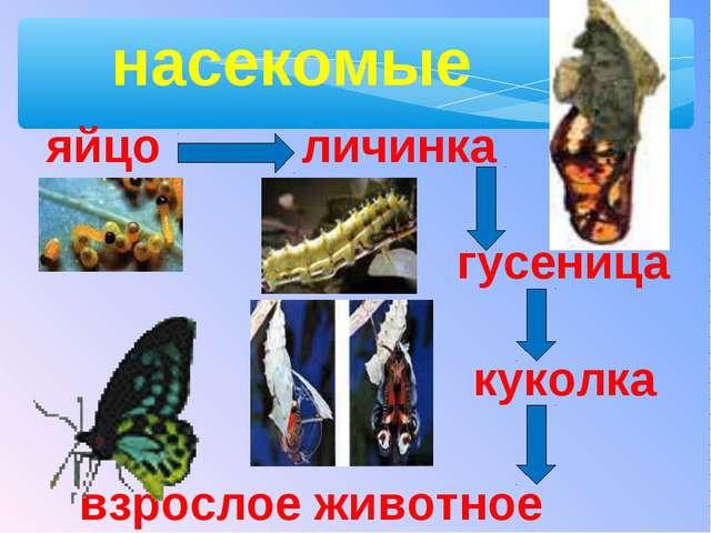 яйцо личинка куколка взрослое животное гусеница насекомые