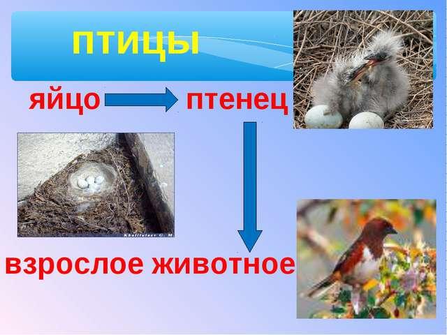 птицы яйцо птенец взрослое животное