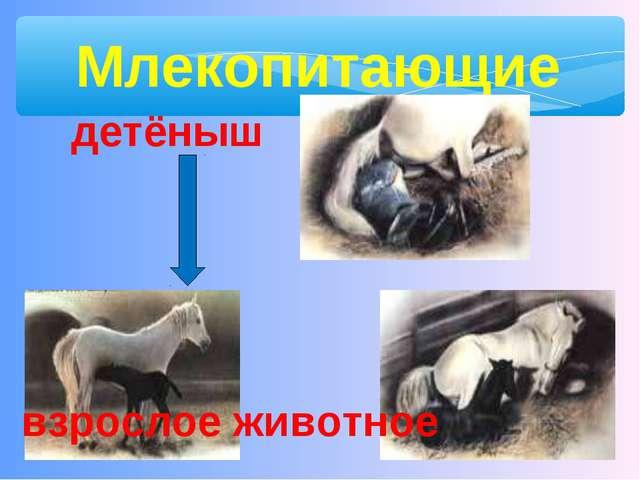 Млекопитающие взрослое животное детёныш