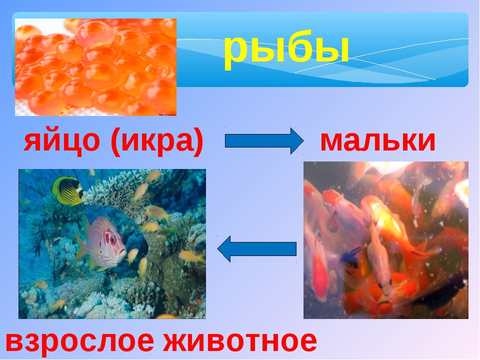рыбы яйцо (икра) мальки взрослое животное